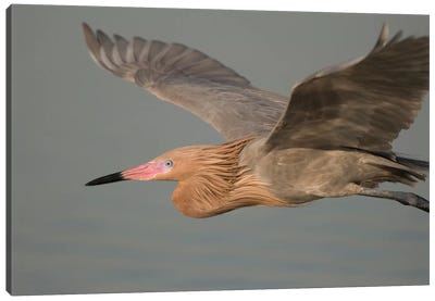 Reddish Egret Flying, Fort Desoto Park, Florida Canvas Art Print