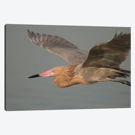 Reddish Egret Flying, Fort Desoto Park, Florida Canvas Print #GET23} by Steve Gettle Canvas Print