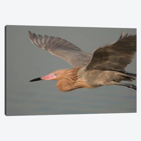 Reddish Egret Flying, Fort Desoto Park, Florida Canvas Print #GET23} by Steve Gettle Canvas Print