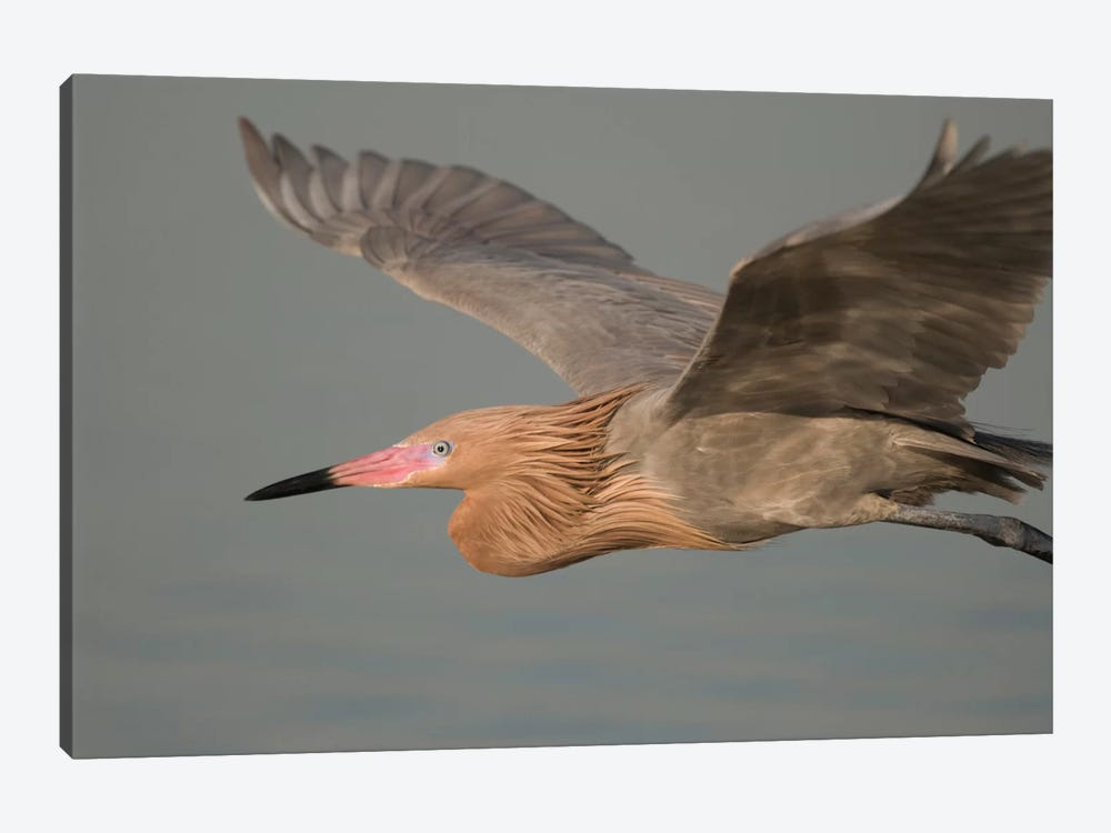 Reddish Egret Flying, Fort Desoto Park, Florida by Steve Gettle 1-piece Canvas Artwork