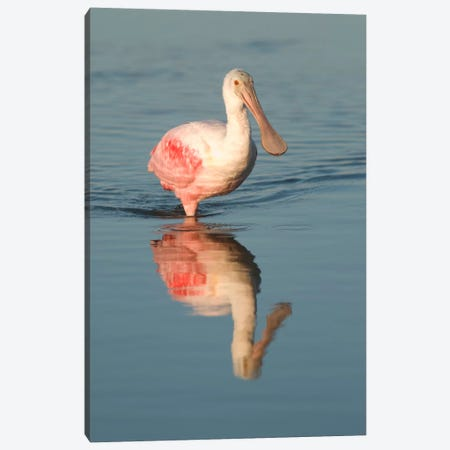 Roseate Spoonbill Wading, Fort Myers Beach, Florida Canvas Print #GET24} by Steve Gettle Canvas Art