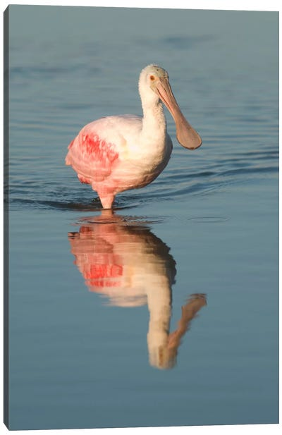 Roseate Spoonbill Wading, Fort Myers Beach, Florida Canvas Art Print