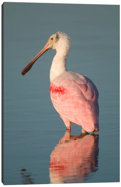 Roseate Spoonbill, Fort Myers Beach, Florida Canvas Art Print