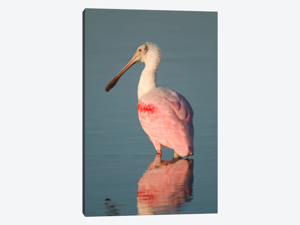 Roseate Spoonbill, Fort Myers Beach, Florida by Steve Gettle 1-piece Canvas Wall Art