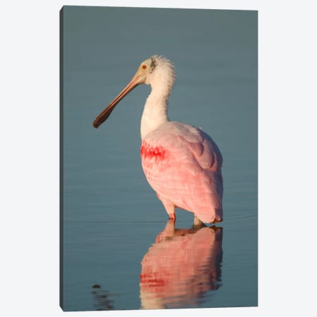 Roseate Spoonbill, Fort Myers Beach, Florida Canvas Print #GET25} by Steve Gettle Canvas Art