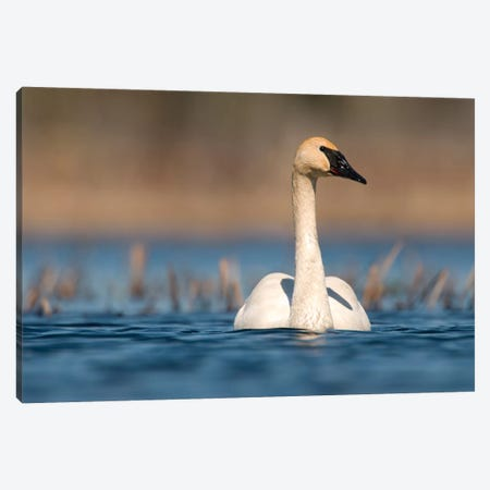 Trumpeter Swan Swimming, Seney National Wildlife Refuge, Michigan Canvas Print #GET27} by Steve Gettle Canvas Art