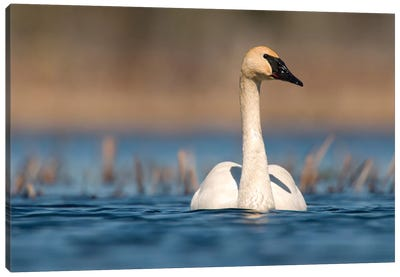 Trumpeter Swan Swimming, Seney National Wildlife Refuge, Michigan Canvas Art Print