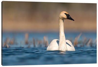 Trumpeter Swan Swimming, Seney National Wildlife Refuge, Michigan Canvas Art Print