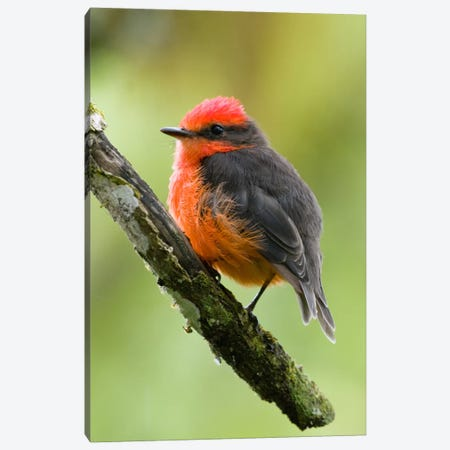 Vermilion Flycatcher Male, Galapagos Islands, Ecuador Canvas Print #GET28} by Steve Gettle Canvas Print