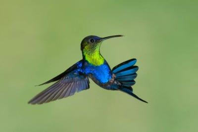 Violet-Crowned Woodnymph Hummingbird Male Flyin... | Steve ...