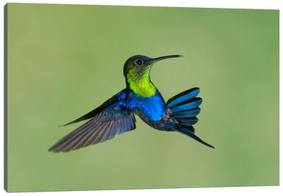 Violet-Crowned Woodnymph Hummingbird Male Flying, Costa Rica Canvas Art Print