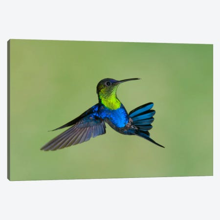 Violet-Crowned Woodnymph Hummingbird Male Flying, Costa Rica Canvas Print #GET29} by Steve Gettle Canvas Art Print