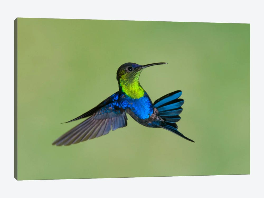 Violet-Crowned Woodnymph Hummingbird Male Flying, Costa Rica by Steve Gettle 1-piece Canvas Wall Art