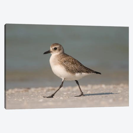 Black-Bellied Plover Walking, Fort Desoto Park, Florida Canvas Print #GET2} by Steve Gettle Canvas Wall Art