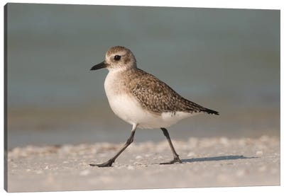 Black-Bellied Plover Walking, Fort Desoto Park, Florida Canvas Art Print