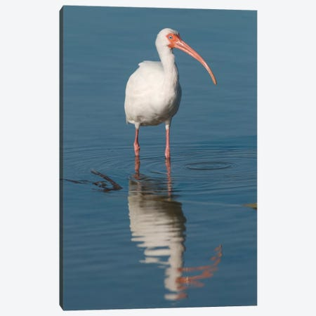 White Ibis, Fort Myers Beach, Florida I Canvas Print #GET30} by Steve Gettle Canvas Wall Art