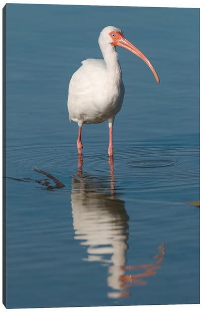White Ibis, Fort Myers Beach, Florida I Canvas Art Print