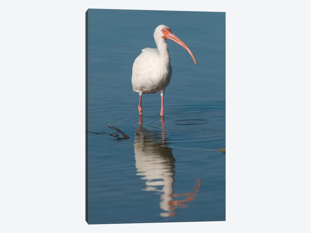 White Ibis, Fort Myers Beach, Florida I by Steve Gettle 1-piece Canvas Wall Art