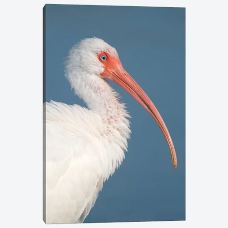 White Ibis, Fort Myers Beach, Florida II Canvas Print #GET31} by Steve Gettle Canvas Artwork