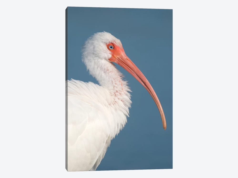 White Ibis, Fort Myers Beach, Florida II by Steve Gettle 1-piece Art Print