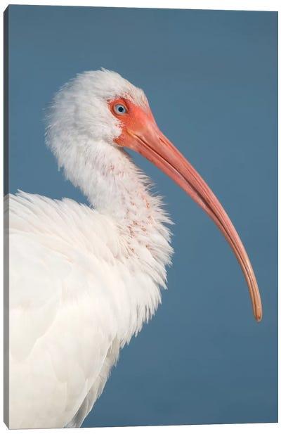 White Ibis, Fort Myers Beach, Florida II Canvas Art Print
