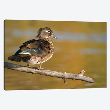 Wood Duck Female, North Chagrin Reservation, Ohio Canvas Print #GET32} by Steve Gettle Canvas Art