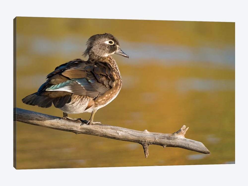 Wood Duck Female, North Chagrin Reservation, Ohio by Steve Gettle 1-piece Canvas Wall Art