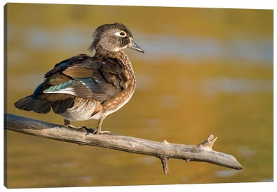 Wood Duck Female, North Chagrin Reservation, Ohio Canvas Art Print