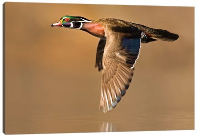 Wood Duck Male Flying, Lapeer State Game Area, Michigan Canvas Art Print