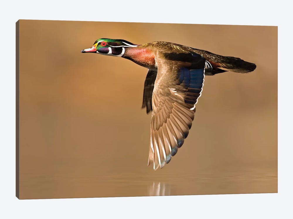 Wood Duck Male Flying, Lapeer State Game Area, Michigan by Steve Gettle 1-piece Art Print