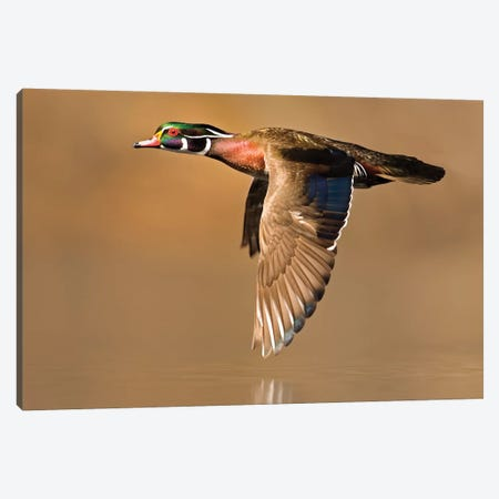 Wood Duck Male Flying, Lapeer State Game Area, Michigan Canvas Print #GET33} by Steve Gettle Canvas Wall Art