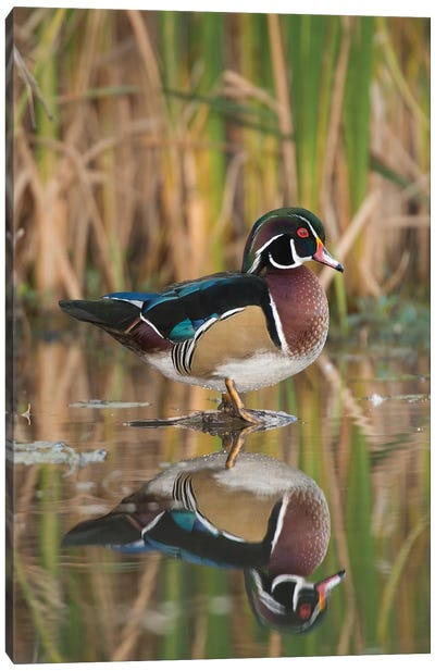 Wood Duck Male In Breeding Plumage, Lapeer State Game Area, Michigan Canvas Art Print