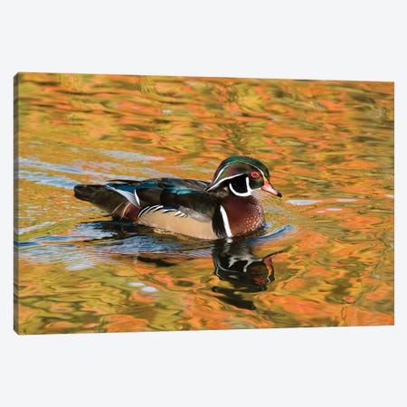 Wood Duck Male In Breeding Plumage, North Chagrin Reservation, Ohio Canvas Print #GET35} by Steve Gettle Art Print