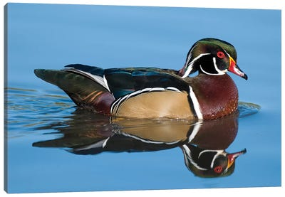 Wood Duck Male Swimming, Lapeer State Game Area, Michigan Canvas Art Print