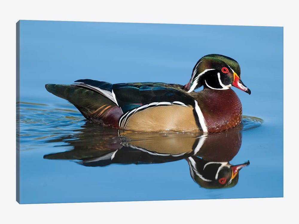 Wood Duck Male Swimming, Lapeer State Game Area, Michigan by Steve Gettle 1-piece Canvas Wall Art