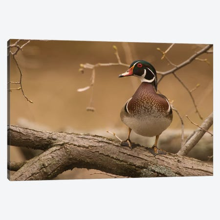 Wood Duck Male, Kensington Metropark, Milford, Michigan Canvas Print #GET37} by Steve Gettle Art Print