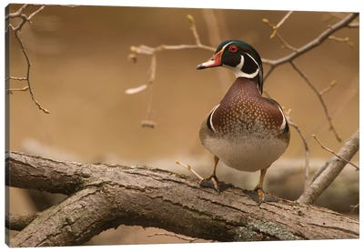 Wood Duck Male, Kensington Metropark, Milford, Michigan Canvas Art Print