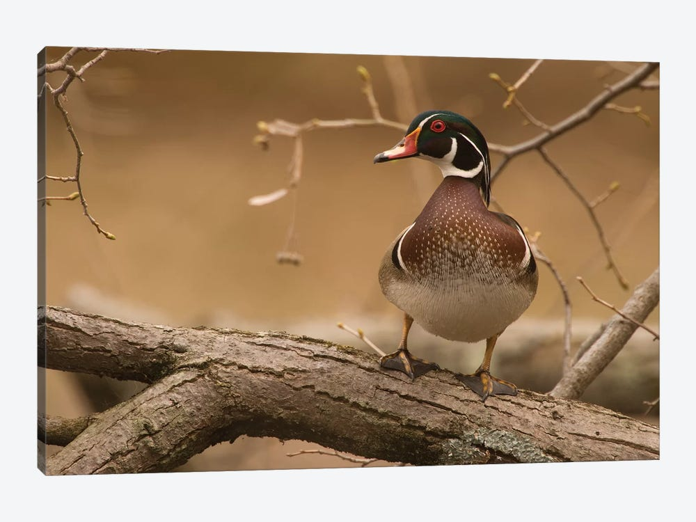 Wood Duck Male, Kensington Metropark, Milford, Michigan by Steve Gettle 1-piece Canvas Art Print