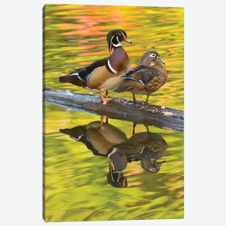 Wood Duck Pair, North Chagrin Reservation, Ohio Canvas Print #GET38} by Steve Gettle Canvas Art