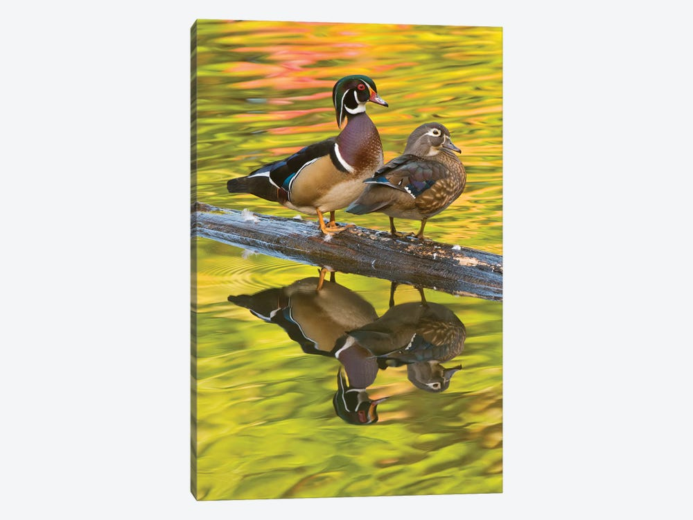 Wood Duck Pair, North Chagrin Reservation, Ohio by Steve Gettle 1-piece Canvas Wall Art