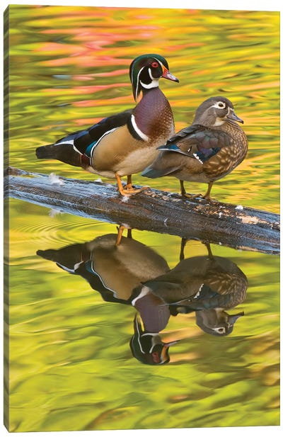 Wood Duck Pair, North Chagrin Reservation, Ohio Canvas Art Print