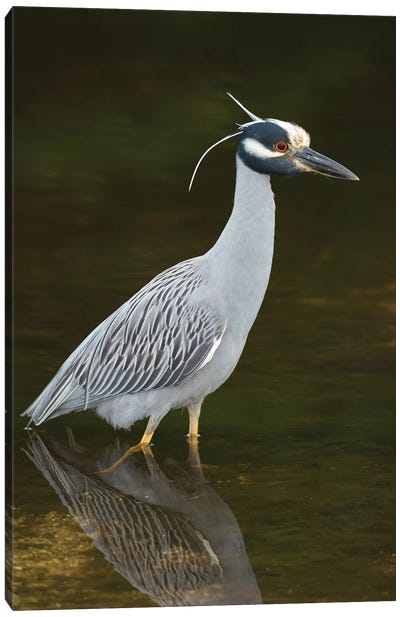 Yellow-Crowned Night Heron, J. N. Ding Darling National Wildlife Refuge, Florida Canvas Art Print