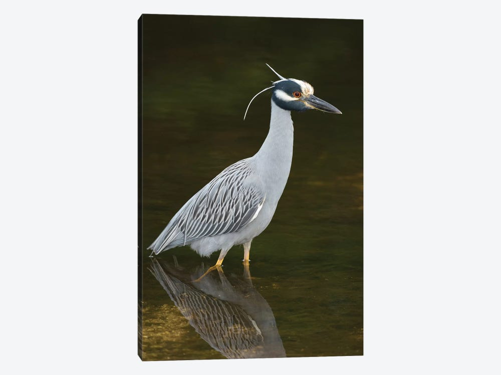 Yellow-Crowned Night Heron, J. N. Ding Darling National Wildlife Refuge, Florida by Steve Gettle 1-piece Art Print