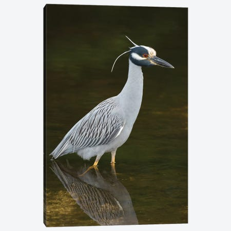 Yellow-Crowned Night Heron, J. N. Ding Darling National Wildlife Refuge, Florida Canvas Print #GET39} by Steve Gettle Canvas Wall Art