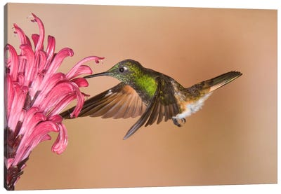 Buff-Tailed Coronet Hummingbird Feeding On Flower Nectar, Ecuador Canvas Art Print