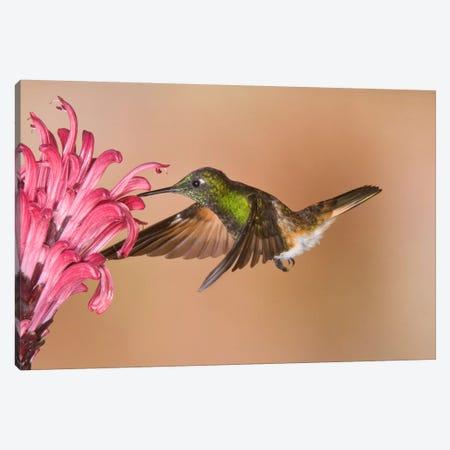 Buff-Tailed Coronet Hummingbird Feeding On Flower Nectar, Ecuador Canvas Print #GET3} by Steve Gettle Canvas Artwork