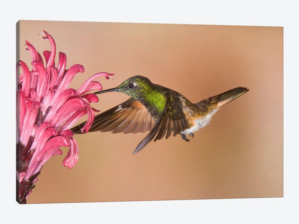Buff-Tailed Coronet Hummingbird Feeding On Flower Nectar, Ecuador by Steve Gettle 1-piece Canvas Artwork