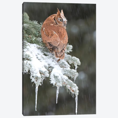 Eastern Screech Owl Red Morph In Winter, Howell Nature Center, Michigan Canvas Print #GET4} by Steve Gettle Canvas Print