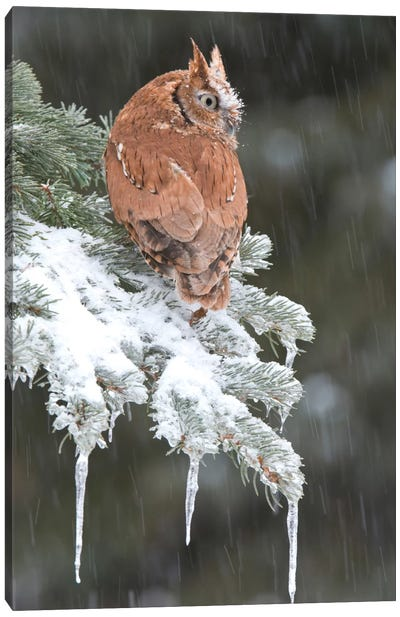 Eastern Screech Owl Red Morph In Winter, Howell Nature Center, Michigan Canvas Art Print