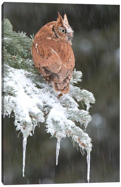 Eastern Screech Owl Red Morph In Winter, Howell Nature Center, Michigan Canvas Art Print
